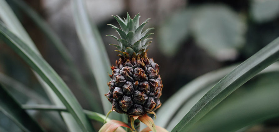 Close up of growing pineapple